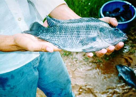 Article image for Performance, economics of tilapia cage culture in Brazil