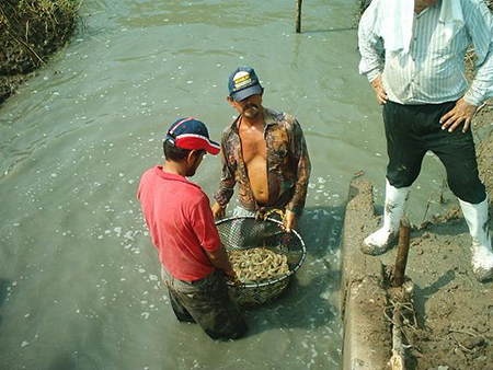 Article image for White shrimp production tested during autumn-winter season in Mexico