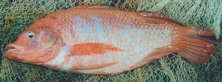 Article image for Tilapia evolution