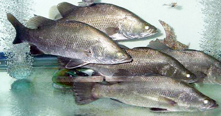 Article image for Israeli study examines feeding regimes for Asian sea bass grown at high temperatures