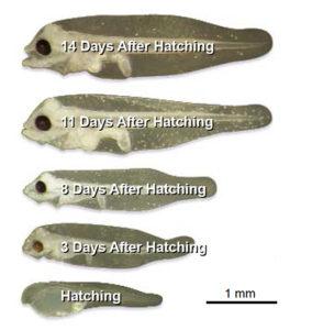 halibut larvae