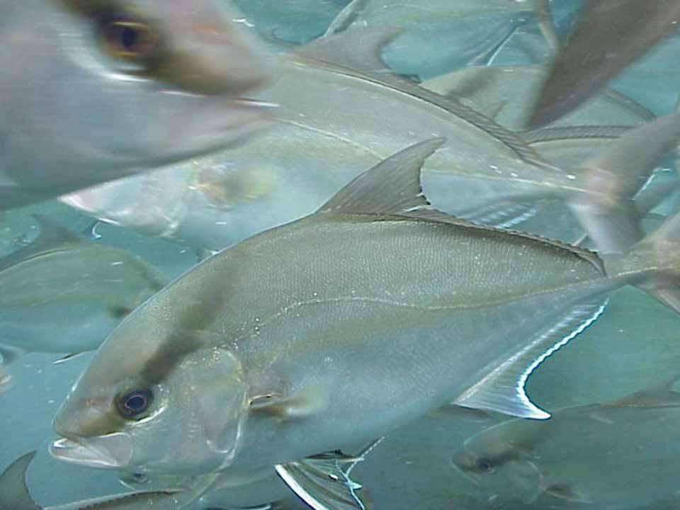 Article image for Amberjack culture progresses at Oceanic Institute