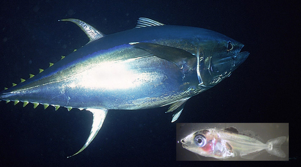Larval tuna