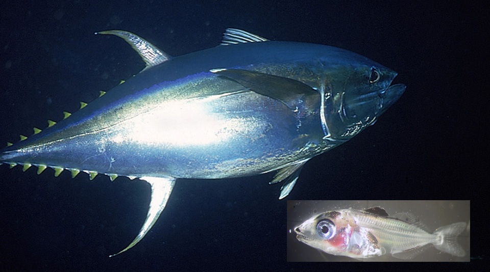 Article image for Larval tuna research mimics ocean conditions in lab
