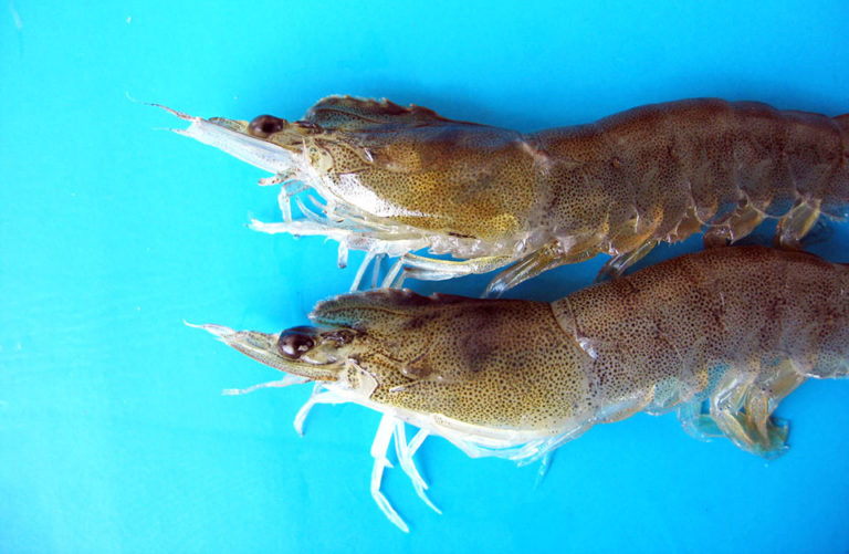 Article image for Study evaluates IHHNV effects on Pacific white shrimp