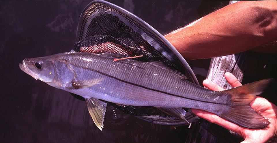 marine fish culture