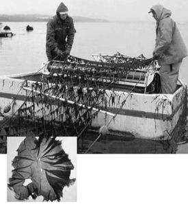 Seaweed polyculture