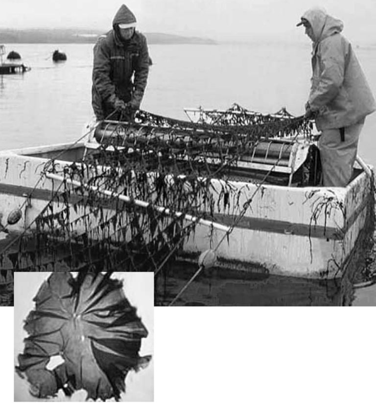 Article image for Seaweed polyculture: Potential bioremediation of hatchery effluents