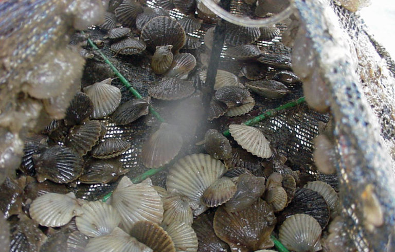 Article image for Improving shellfish aquaculture through triploidy
