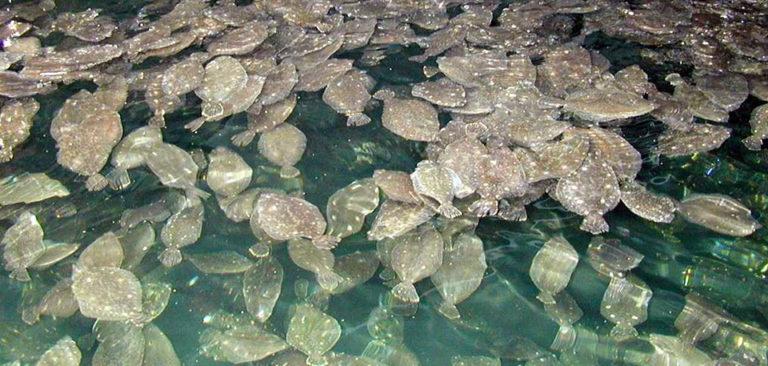 Article image for Production economics of flounder aquaculture