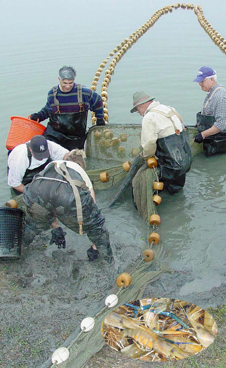 Article image for Freshwater prawn culture in the United States?