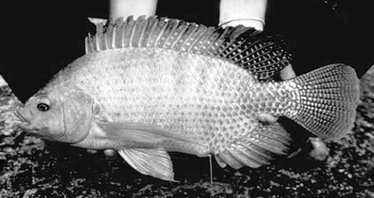 Article image for 'Super male' Nile tilapia outperform hormone-reversed fish in Nicaragua