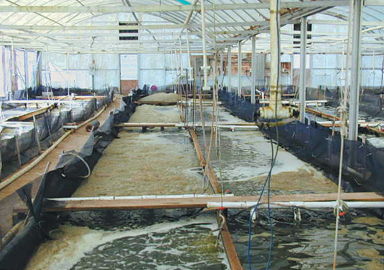 Article image for Nursery trial compares filtration system performance in intensive raceways