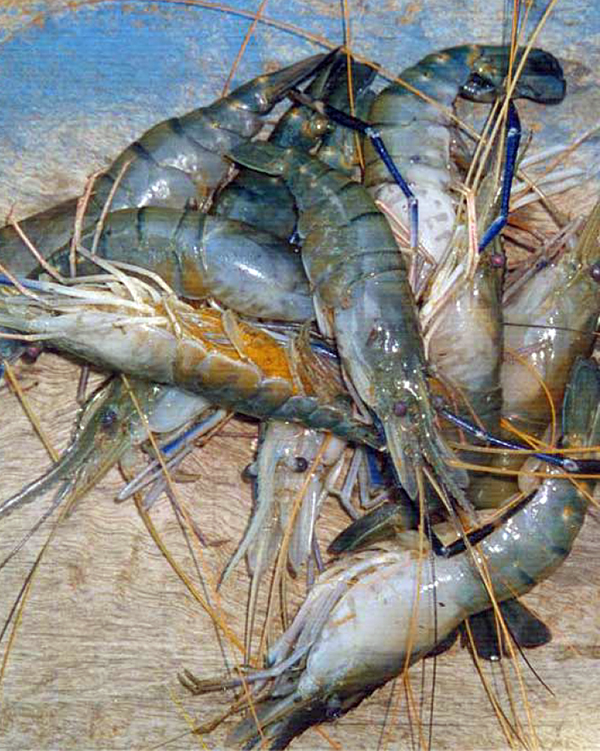 Article image for Freshwater prawn culture in India