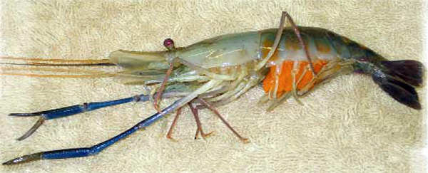 Article image for Hatchery, nursery production of freshwater prawns in temperate climates
