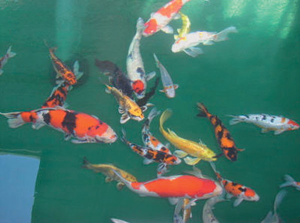Article image for Viral diseases of ornamental carp in the United States