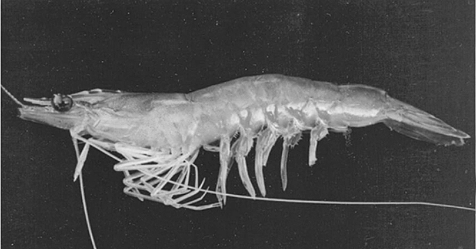 Article image for India study: Corn gluten can partially replace fishmeal in white shrimp feed