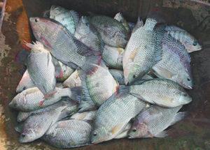 African fish hatcheries