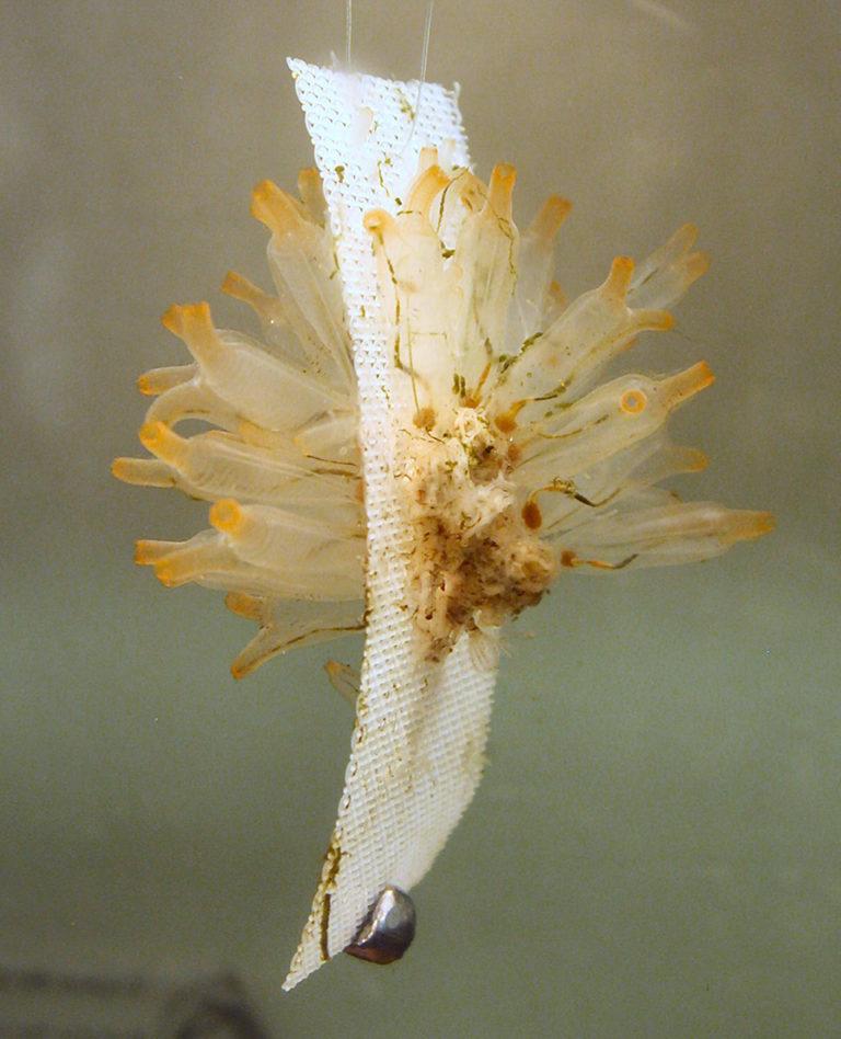 Article image for Ascidian, sponge culture supplies bioactive metabolites