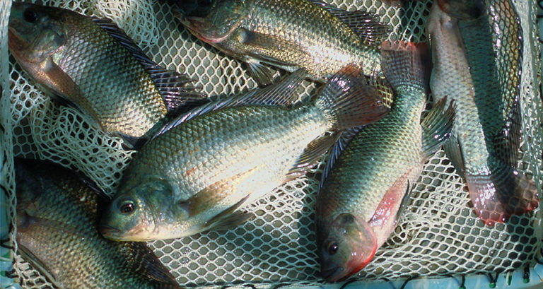 Article image for Tilapia farmers participate in Oman research