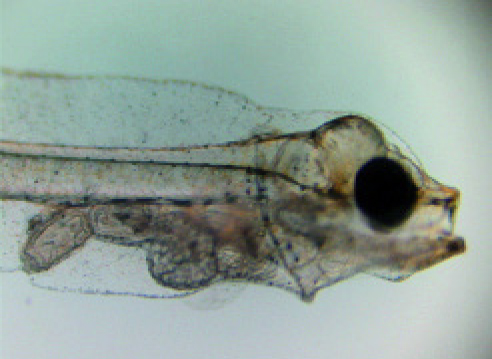Article image for Experimental microdiets for California halibut larvae