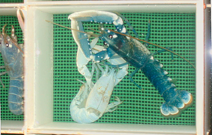 Article image for Pilot recirculation system supports lobster-farming development in Norway
