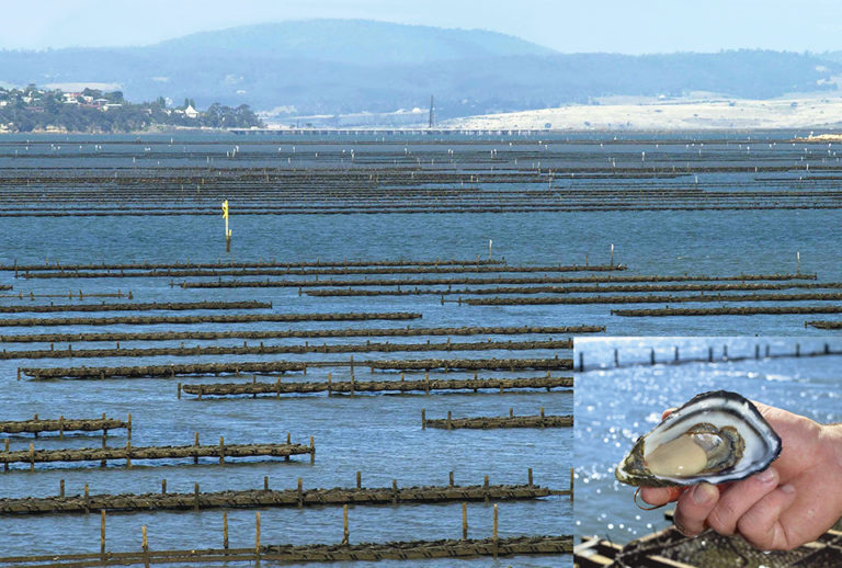 Article image for Genetic improvement of Pacific oysters in Australia