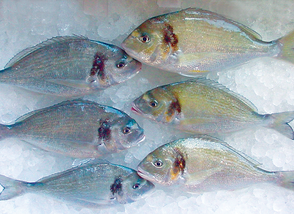 Article image for Finishing diet improves sea bream quality