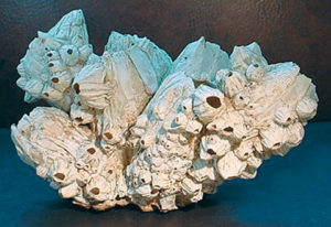 giant barnacles