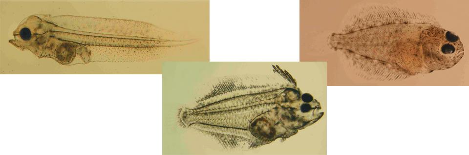 Article image for Green water culture of California halibut larvae