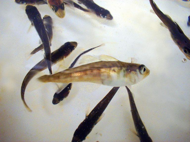 Article image for New molecular techniques detect nodaviruses in Atlantic cod hatcheries