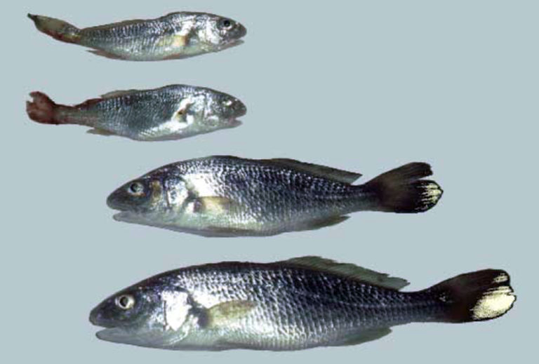 Article image for Vitamins: Varied factors affect health, disease resistance effects in fish