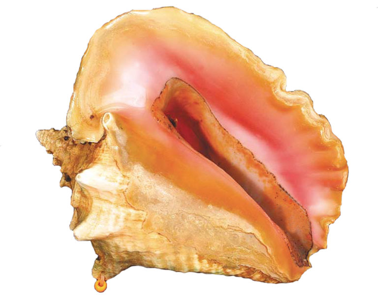 Article image for Queen conchs conservation through aquaculture, education
