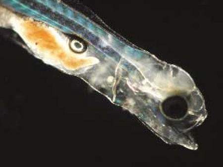 Article image for Advances in tank culture of sunshine bass fry