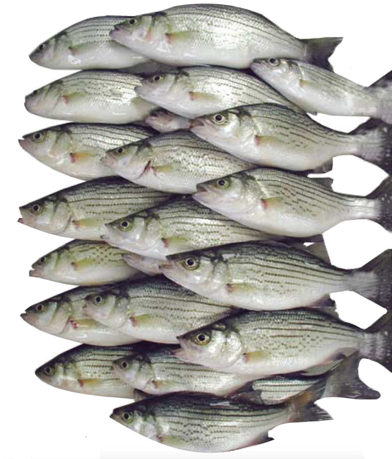 Article image for Quality Index Method provides objective seafood assessment
