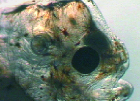 Article image for Sole larvae perform best on algae-and-rotifer diet