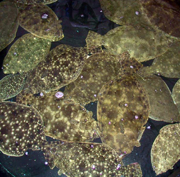Article image for Florida study achieves tank spawning of southern flounder