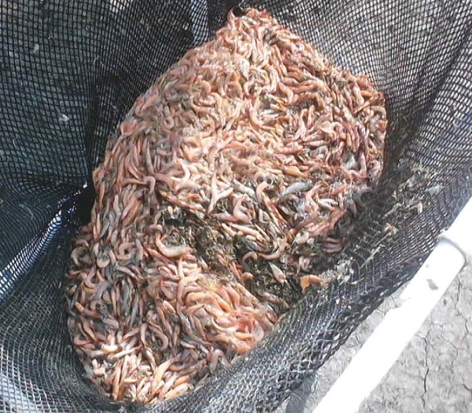 Article image for Dangers of viral pathogens in translocated shrimp, Part 1