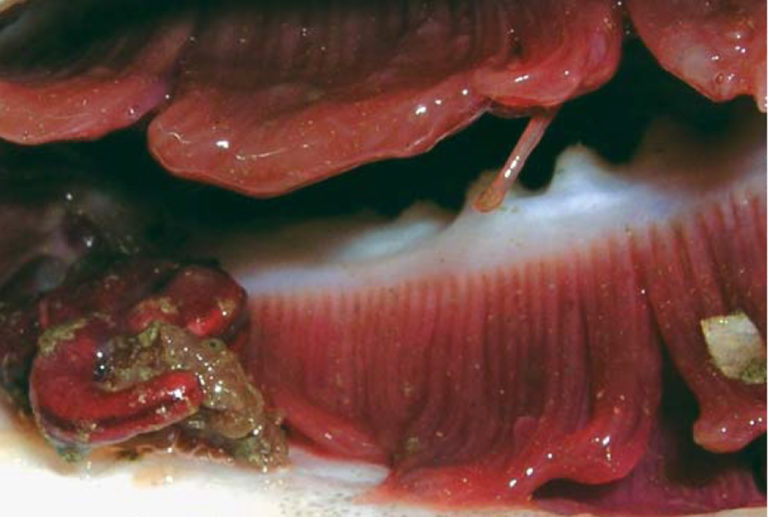 Article image for Parasite management important to future cod aquaculture in Scotland