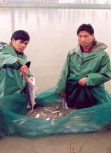 Paddlefish culture