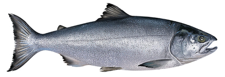 Article image for Flawed risk assessment of contaminants in salmon