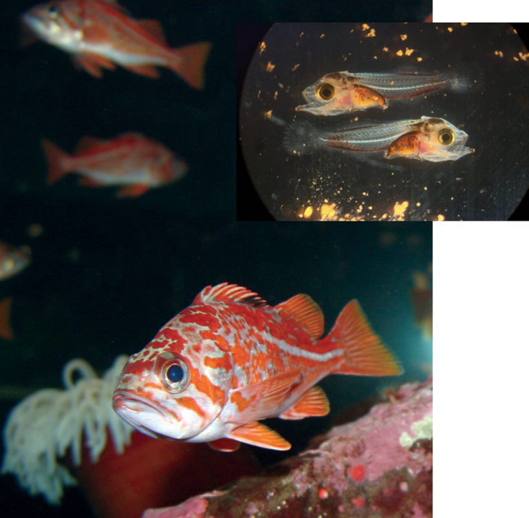 Article image for Rockfish a potential culture species in U.S. Northwest