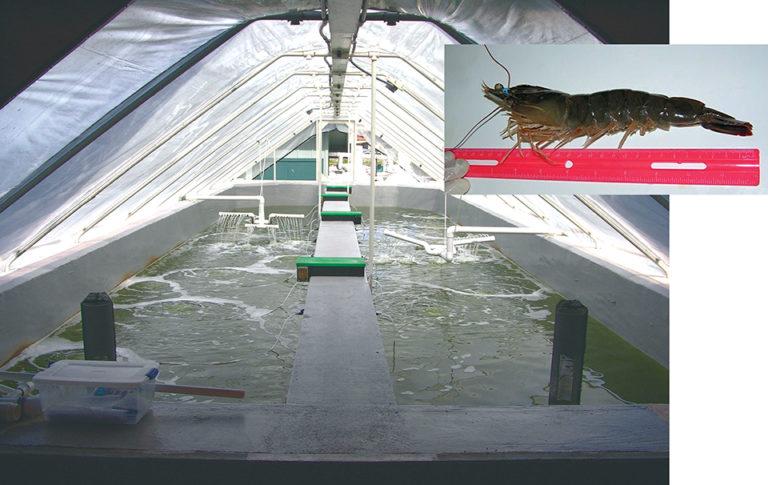 Article image for Shrimp copyright: Inbreeding strategies effective against copying of genetically improved shrimp