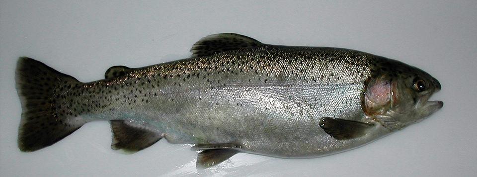 tetraploid rainbow trout