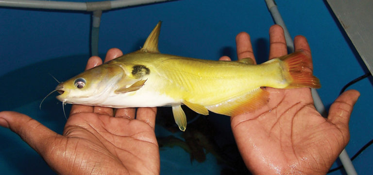 Article image for Yellow catfish a potential candidate for India