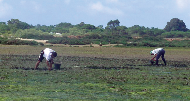 Article image for Integrated monitoring improves microbiological quality of bivalve mollusks in southern Portugal