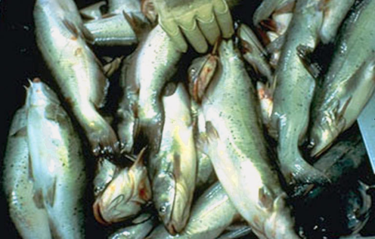 Article image for Feed deprivation reduces resistance of juvenile channel catfish to ESC