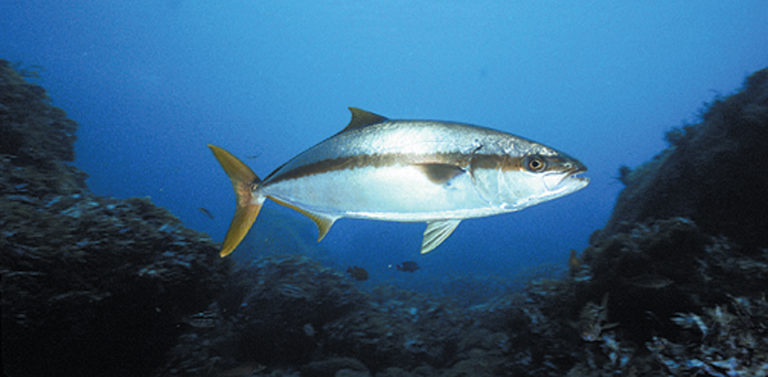 Article image for Research on spawning, larval rearing of yellowtail jack continues at Hubbs-SeaWorld