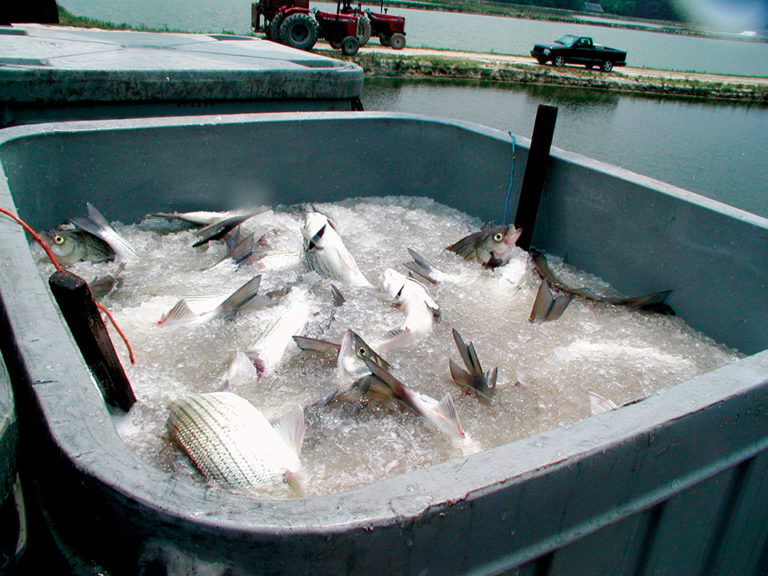 Article image for Measuring, maintaining freshness in aquaculture products