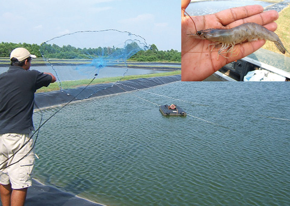 shrimp feed